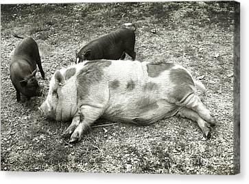 Piggies Canvas Print
