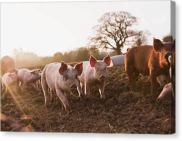 Piglets In Barnyard Canvas Print by Jupiterimages