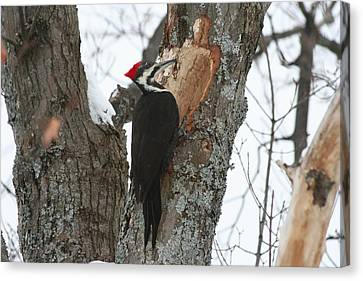 Pileated Woodpecker Canvas Print by Carolyn Reinhart
