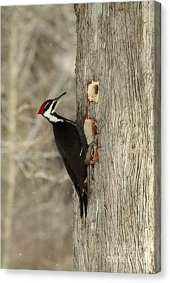 Pileated Woodpecker Excavating A Cedar Tree Canvas Print by Inspired Nature Photography Fine Art Photography