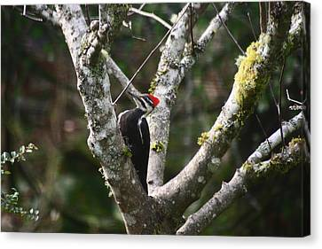 Canvas Print featuring the photograph Pileated Woodpecker In Cherry Tree by Kym Backland