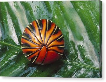 Pill Millipede Glomeris Sp Rolled Canvas Print by Cyril Ruoso