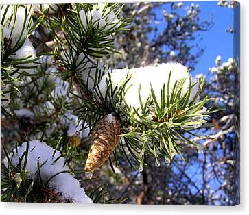 Pine Cone In Winter Canvas Print