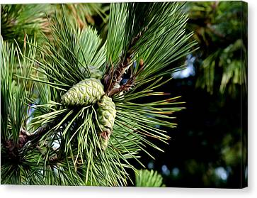 Pine Cones In A Pine Tree Canvas Print by Bill Cannon