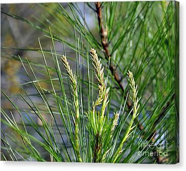Pine Needles Canvas Print by Al Powell Photography USA
