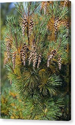 Pine (pinus Sp.) Canvas Print by Dr Keith Wheeler