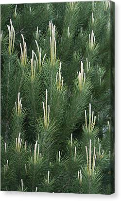Pine Spring Growth Santa Cruz California Canvas Print by Sebastian Kennerknecht