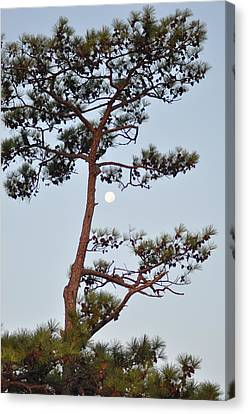 Piney Moon Canvas Print