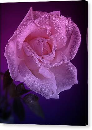 Pink And Blue Rose In The Rain Canvas Print by M K  Miller
