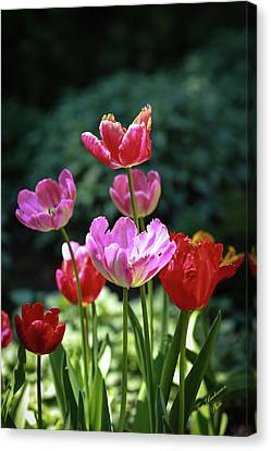 Pink And Red Tulips Canvas Print by Tom Buchanan