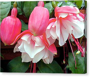 Pink And White Ruffled Fuschias Canvas Print by Elaine Plesser