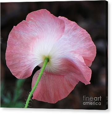 Canvas Print featuring the photograph Pink And White Shirley Poppy by Michele Penner