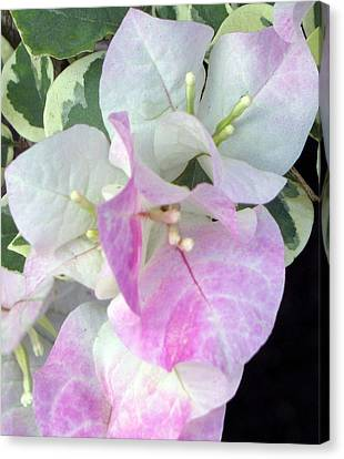 Pink And White Surprise Canvas Print by Debi Singer