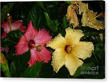 Canvas Print featuring the photograph Pink And Yellow Hibiscus After The Rain by Renee Trenholm
