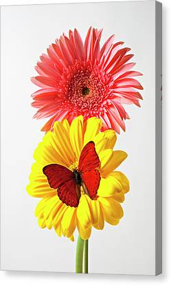 Pink And Yellow Mums Canvas Print by Garry Gay