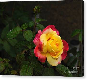 Pink And Yellow Rose 5 Canvas Print