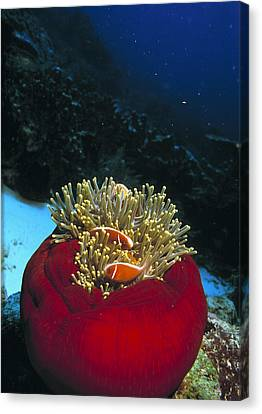 Pink Anemone Fish Canvas Print by Georgette Douwma