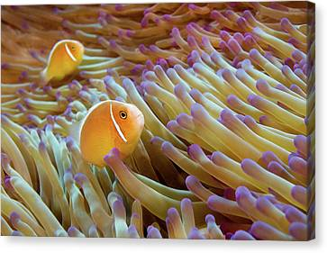 Pink Anemonefish Canvas Print by James R.D. Scott