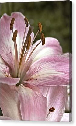 Pink Asiatic Lily Canvas Print
