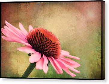 Pink Beauty Canvas Print by Darren Fisher