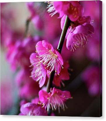 Pink Beauty Canvas Print by I love Photo and Apple.