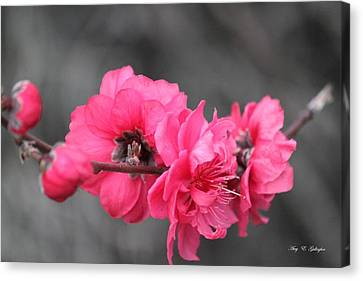 Pink Blossoms  Canvas Print by Amy Gallagher