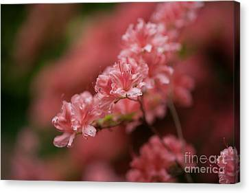 Pink Blossoms Canvas Print by Mike Reid