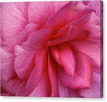 Pink Camellia Canvas Print by Forest Alan Lee