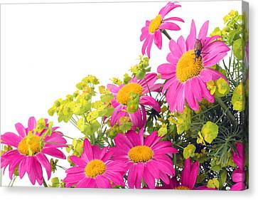 Canvas Print featuring the photograph Pink Camomiles And Bug Card by Aleksandr Volkov