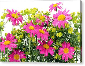 Canvas Print featuring the photograph Pink Camomiles Background by Aleksandr Volkov