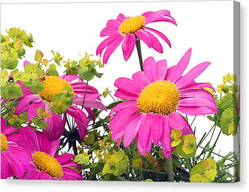 Canvas Print featuring the photograph Pink Camomiles Macro by Aleksandr Volkov