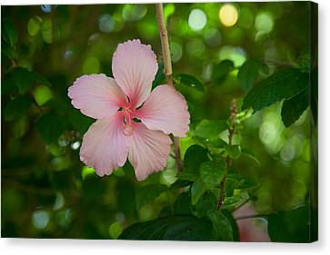 Pink Canvas Print by Carole Hinding