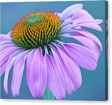 Pink Coneflower Canvas Print by Becky Lodes