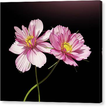 Pink Cosmos Flower Canvas Print by Gitpix