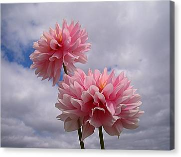 Pink Dahlia Canvas Print by Nick Kloepping
