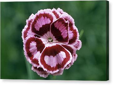 Pink (dianthus 'becky Robinson') Canvas Print