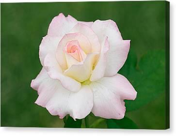 Pink Edge White Rose Canvas Print by Atiketta Sangasaeng