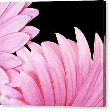 Pink Fan Canvas Print by Nancie Rowan