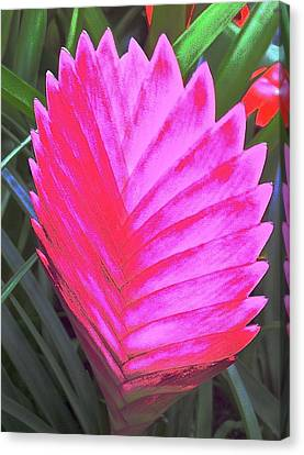 Pink Fan Canvas Print by Paul Washington