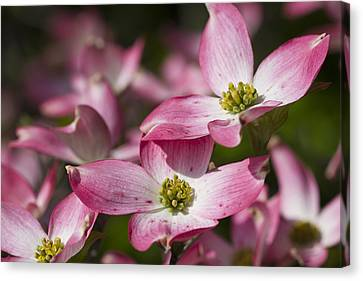Pink Flowering Dogwood - Cornus Florida Rubra Canvas Print