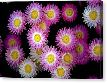Pink Flowers At Dawn 3 Canvas Print by Sumit Mehndiratta