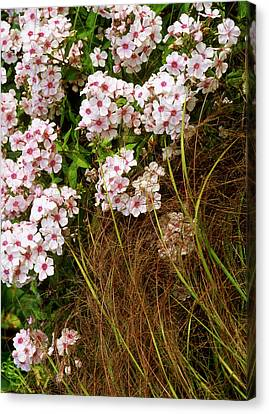 Pink Flowers Of Phlox Paniculata - Miss Wilma  (perennial Phlox)  With Stipa Arundinacea (pheasant Grass) In A Piet Oudolf Inspired Garden, August  Coldcoates Farm, York Owner: Penny Jones Canvas Print