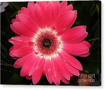 Canvas Print featuring the photograph Pink Gerbera Daisy by Kerri Mortenson
