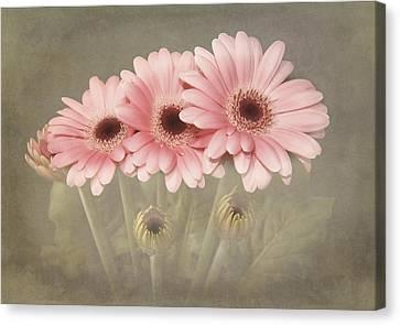 Pink Gerbera Daisys Canvas Print