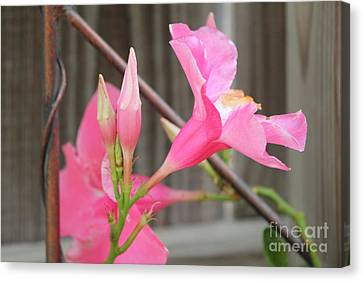 Pink Hibiscus 1 Canvas Print