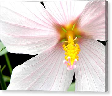 Canvas Print featuring the photograph Pink Hybiscus by Jodi Terracina