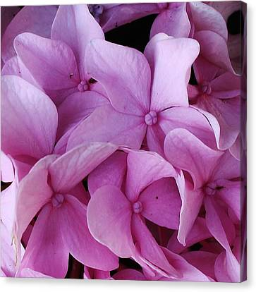 Pink Hydrangea Up Close Canvas Print by Bruce Bley