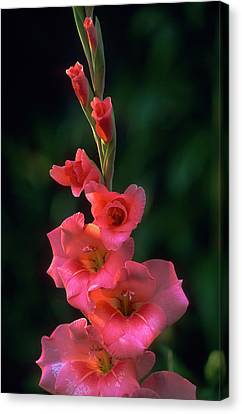 Pink Iris On Green Canvas Print