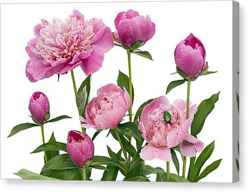 Canvas Print featuring the photograph Pink June Peonies And A Green Bug by Aleksandr Volkov