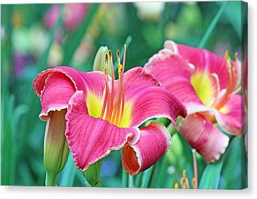 Pink Lilies Canvas Print by Becky Lodes